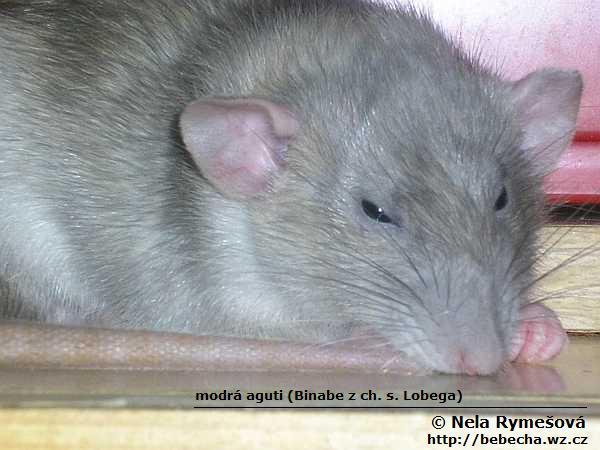 Bebecha Ch S Laboratornich Potkanu